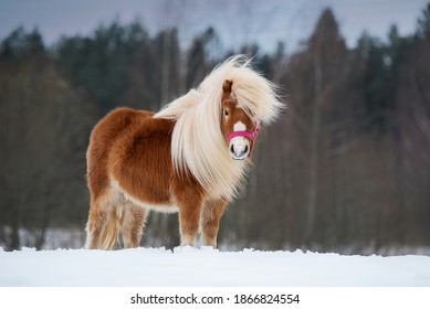 Beautiful miniature shetland breed pony stallion with long white mane standing on the field in winter