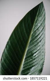 Beautiful minimalistic single green strelitzia leaf on the grey wall background, close up view