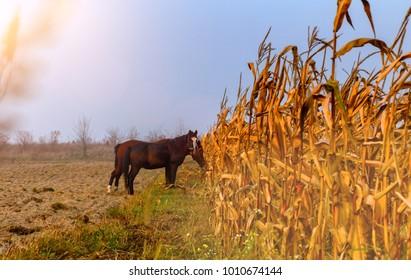beautiful misty autumn landscape and horses grazing