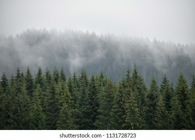 Beautiful misty coniferous forest. Firs, larches.  Styria mountains, Austria