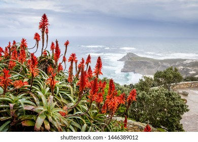 Beautiful misty sea from a view point at Cape Point Nature Reserve, with Aloe ferox flowers,  Cape Point, Cape Town, South Africa