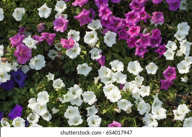 Beautiful mix colorful petunia flowers background.