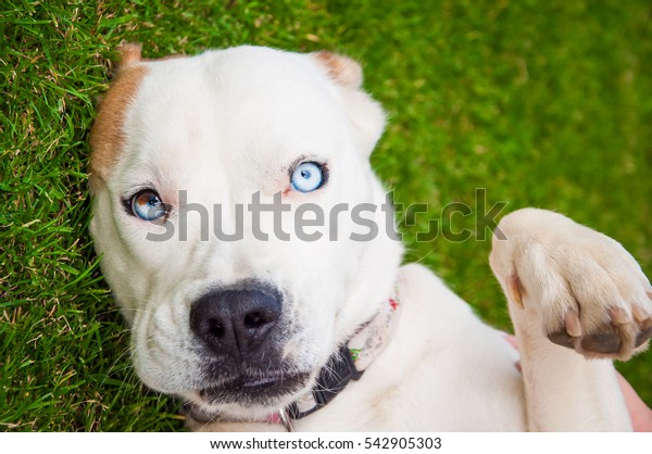Beautiful mixed blood (boxer and husky) dog on grass