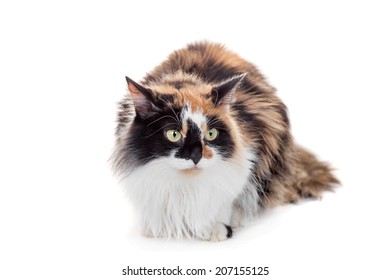 Beautiful mixed breed cat on white