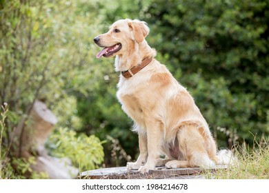 Beautiful Mixed breed Golden Retriever dog in a forest