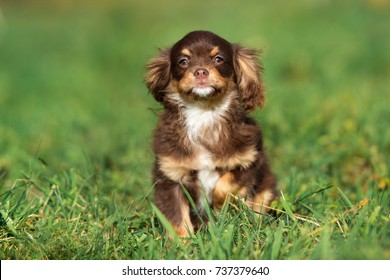 Beliebt Bevorzugt Cavalier King Charles Spaniel Mix Images, Stock Photos & Vectors &PX_97