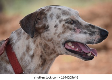 beautiful mixed up indian dog breed cross with Dalmatian white with brown color