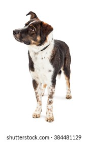 Beautiful mixed large breed dog standing over white looking to side with attention
