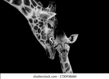 Beautiful Mom And Baby Giraffe Playing