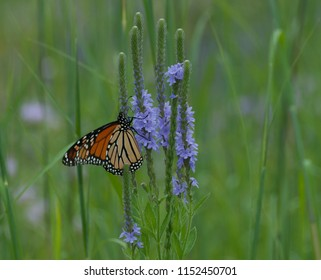Beautiful monarch butterfly (Danaus plexippus) clinging to prairie clover flower (Dalea)
