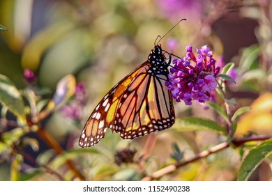 Beautiful Monarch Butterfly feeding on a lavender flower in a garden, closeup