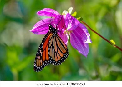 Beautiful Monarch Butterfly feeding on a pink flower