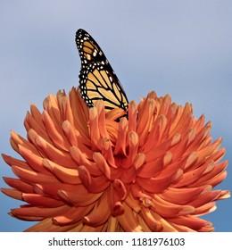 Beautiful Monarch Butterfly feeding on an orange dahlia, closeup