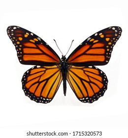 schöner Monarchen-Schmetterling einzeln auf weißem Hintergrund.