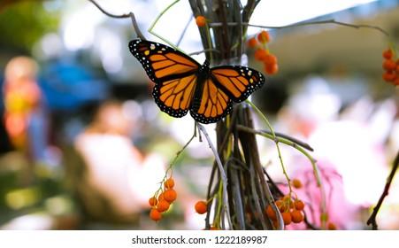 Beautiful Monarch butterfly on bittersweet in the fall