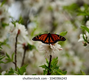 Beautiful monarch butterfly on flowers of almond tree in full splendor