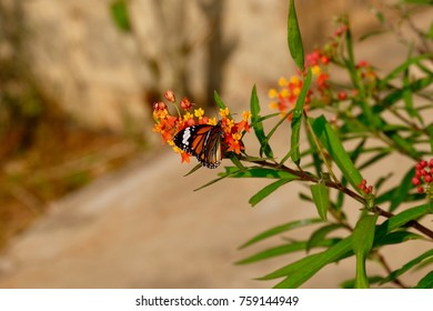 Beautiful Monarch butterfly on milkweed flower