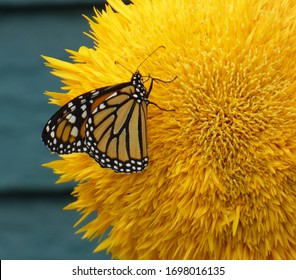 A beautiful Monarch butterfly, perched on a Teddy Bear sunflower in front of a blurred background.