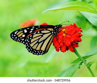 BeautifuL Monarch butterfly posed on a red flower feeding from its nectar