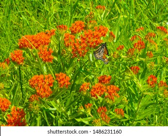 Beautiful monarch butterfly resting on an orange milkweed plant in Tallgrass Prairie National Preserve, Kansas.