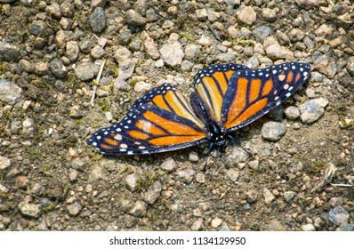 A beautiful monarch butterfly rests on the path in a little garden