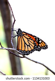 A beautiful monarch butterfly rests on a thin tree branch