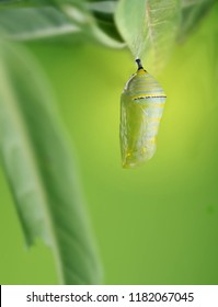 A beautiful Monarch chrysalis (Danaus plexippus) hangs on the leaf Tropical Milkweed
