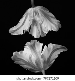 Beautiful monochrome stacked mimicking parrot tulip heads against a black background.