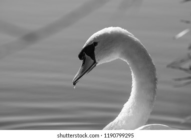 Beautiful Monochrome swan