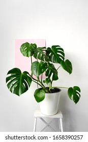 Beautiful monstera flower in a white pot standing on a white wooden stand on a white and pink background. The concept of minimalism. Hipster scandinavian style room interior.