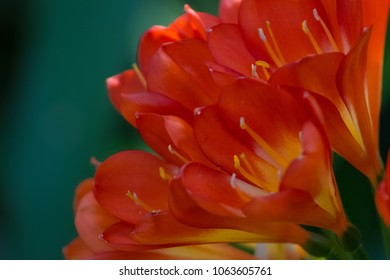 Beautiful moody close-up of a Clivia Miniata plant in the spring or summer in a garden-- native of South America.