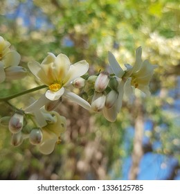 Beautiful Moringa trees, moringa seeds and pods, moringa leaves and moringa flowers