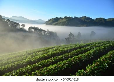 Beautiful morning fog over strawberry farm at Chiang Mai, Thailand
