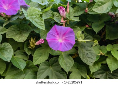 Beautiful morning glory flowers before the sunset in the summer
