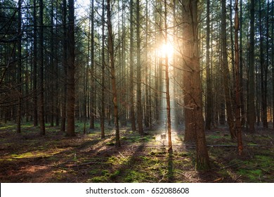 Beautiful morning sunrise in autumn in the Speulder forest in the Netherlands with pine trees
