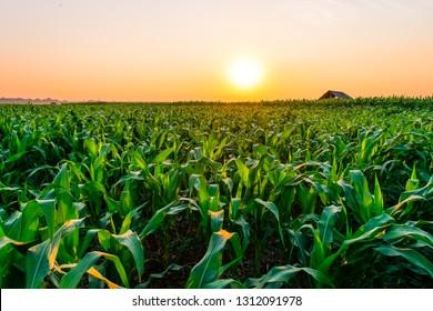 Beautiful morning sunrise over the corn field