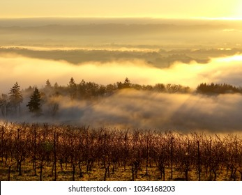A beautiful morning view looking over fog drifting in a valley, pierced by trees with shafts of sun glowing through the mist and bare vines in an Oregon vineyard.