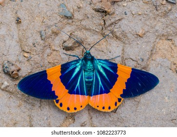 beautiful moth orange and blue (milionia basalis) on ground ,Kaeng Krachan National Park,thailand