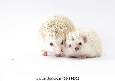 beautiful mother african pygmy hedgehog with young hedgehog baby color : cinnicot snowflake pinto and brown white pinto