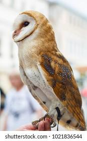Beautiful motley, owl close-up. Tyto alba. Night Hunter. Vertical.
