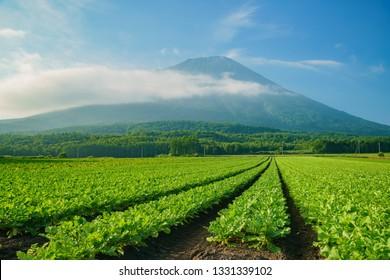 The beautiful Mount Yotei with vegtable farm at Hokkaido, Japan