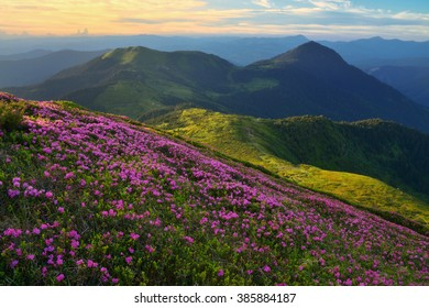 Beautiful mountain landscape with blooming pink rhododendron flowers. Summer vacations in the mountains.
