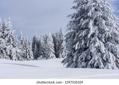 Beautiful mountain landscape. Tall pine trees covered with snow. The unique nature of the Rhodope Mountains.