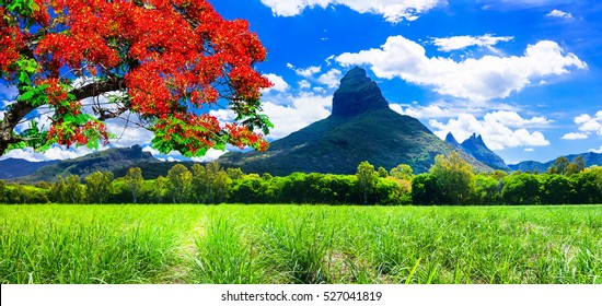 "Beautiful mountain landscapes of Mauritius island with famous ""flame tree"""