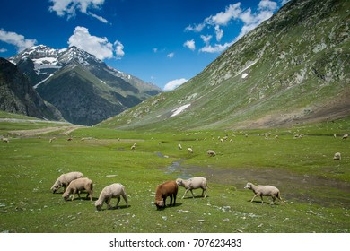 Beautiful mountain summer sheep field at sonamarg, Jammu and Kashmir state, India