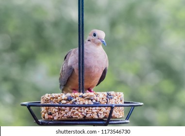 Beautiful mourning dove in Kentucky perching on a swinging feeder all to itself-Nature photography summer 2018