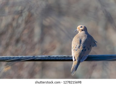 Beautiful mourning dove on wire looking back on a mild, sunny, and windy January morning in Kentucky USA