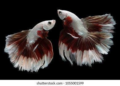 Beautiful movement of 2 Siamese Fighting Fish or Halfmoon Betta on a black background.