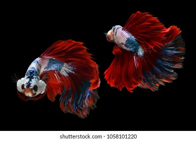 Beautiful movement of 2 Siamese Fighting Fishes or Halfmoon Betta on a black background.