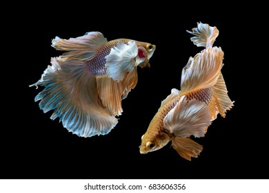Beautiful movement of 2 Siamese Fighting Fish (Halfmoon Betta) on a black background.